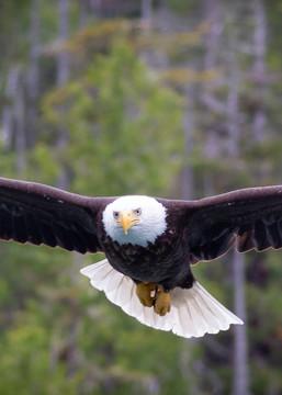 Eagle In Flight Art | Tony Pagliaro Gallery