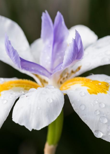 African Iris Flower, San Diego, California