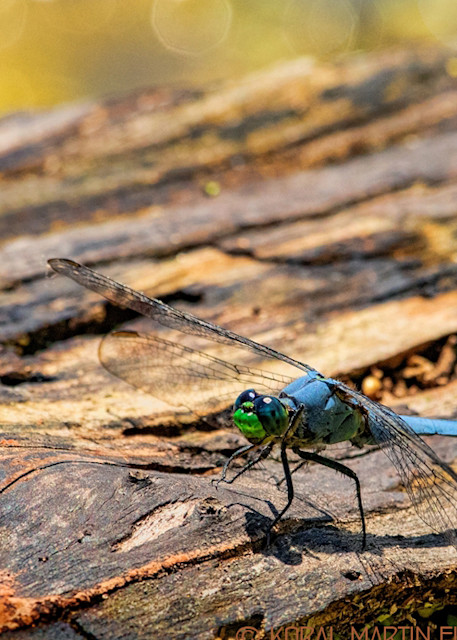 Dragonfly Photograph 1518 | Koral Martin Fine Art Photography | Wildflower Photography