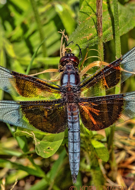 Dragronfly Photograph 1428 | Koral Martin Fine Art Photography | Wildflower Photography