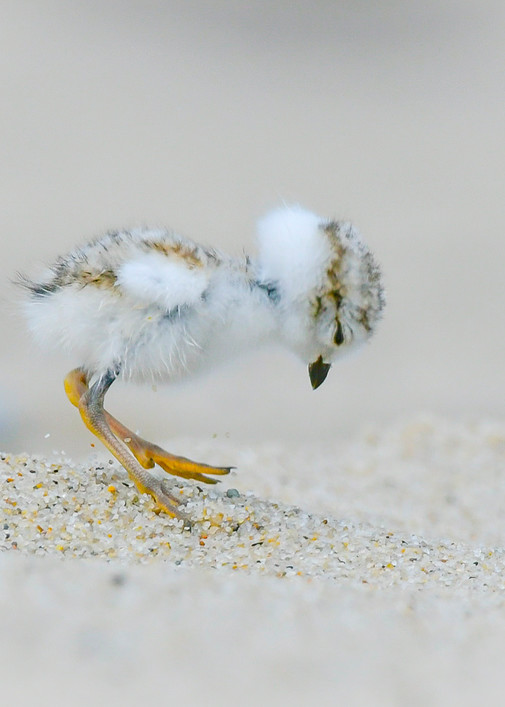 Piping Plover Chick  Art   Sarah E. Devlin Photography