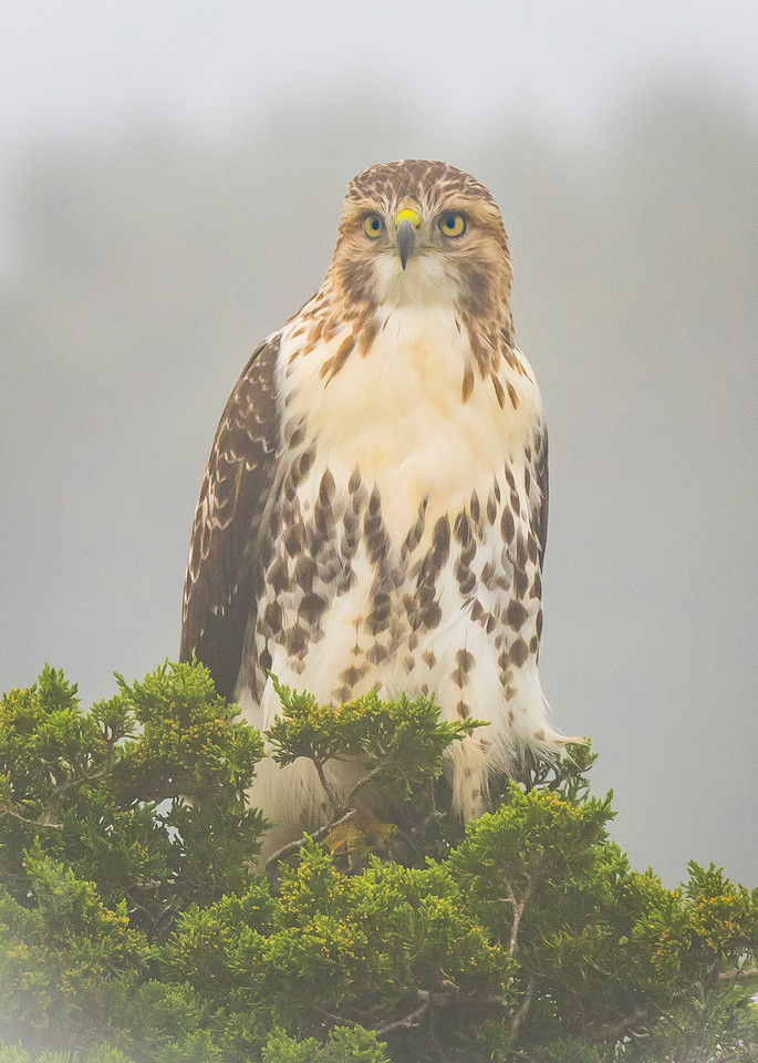 Red Tailed Hawk In Fog Art   Sarah E. Devlin Photography
