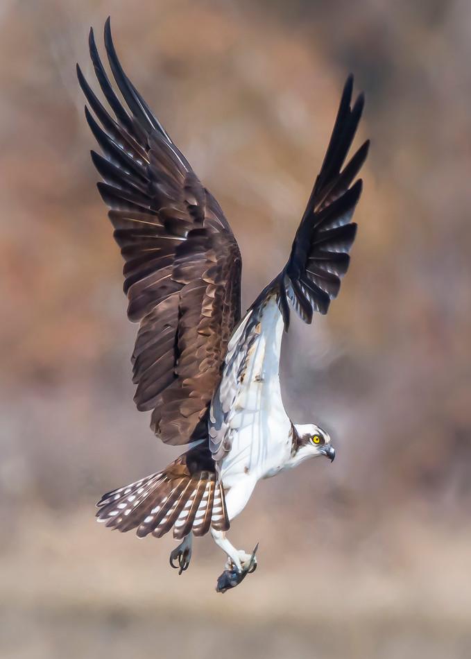 Osprey  Wing Display Art | Sarah E. Devlin Photography