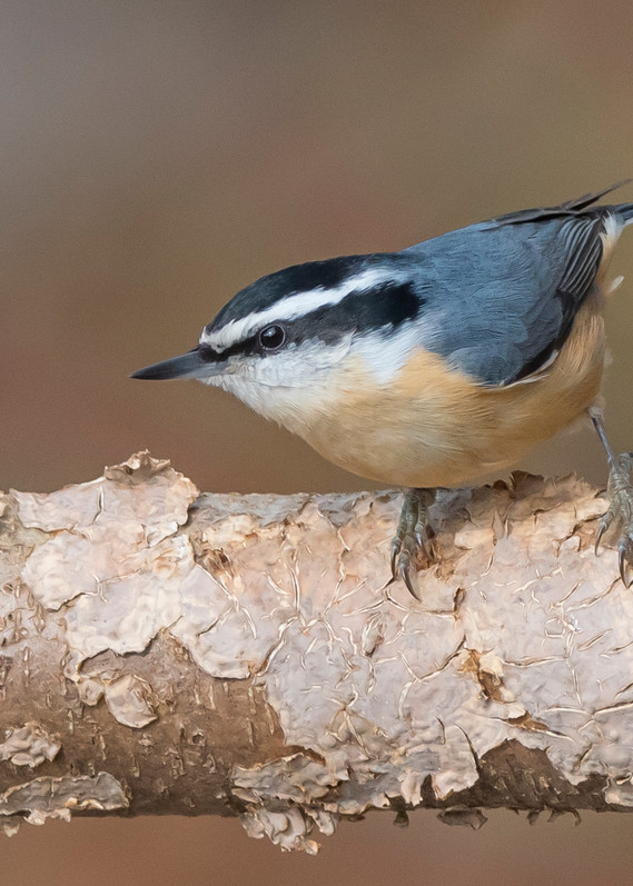 Red Breasted Nuthatch Art | Sarah E. Devlin Photography