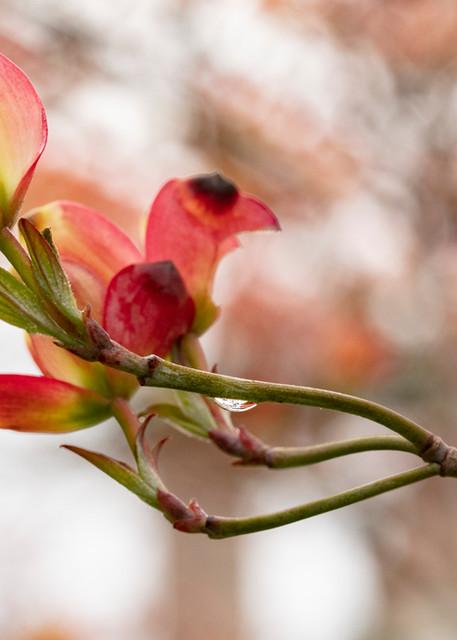 Pink Dogwood Blooms Photograph 9181   Macro Photography   Flower Photography   Koral Martin Fine Art Photography