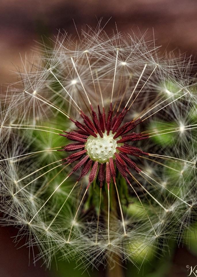 Dandelion Seed Pod Center Photograph 5685   macro photography   Koral Martin Fine Art Photography