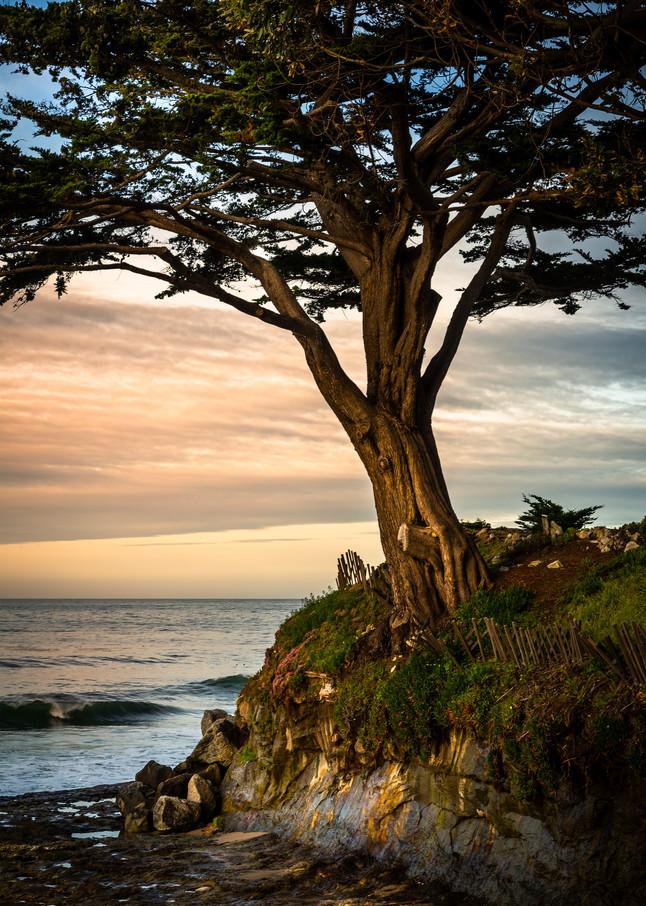 Cypress Tree Art | Tony Pagliaro Gallery