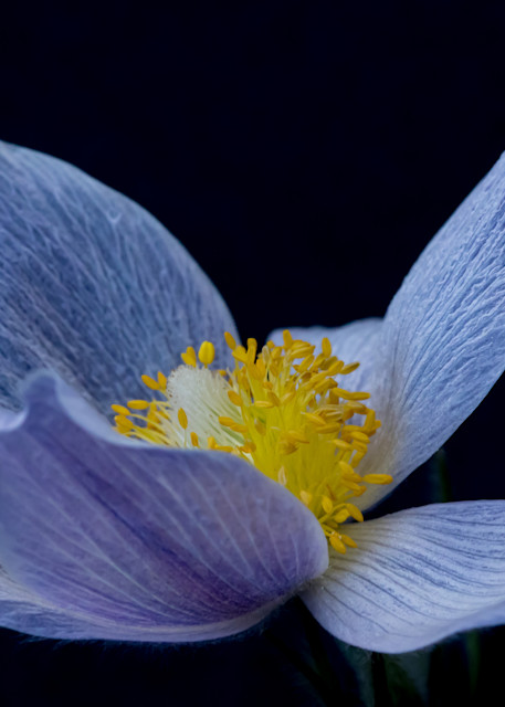 Open Pasqueflower Photography Art   Kirk Fry Photography, LLC