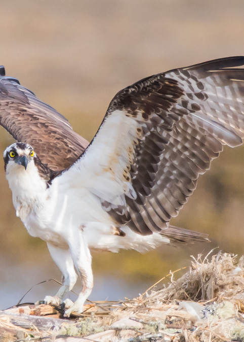 Osprey Art | Sarah E. Devlin Photography
