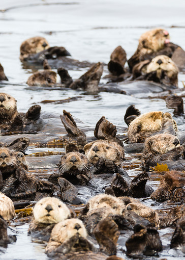 Raft of Sea Otters (Enhydra lutris) floating among kelp near Koniuji Island in Kupreanof Strait on Kodiak Island in Southwestern Alaska. Summer. Afternoon.