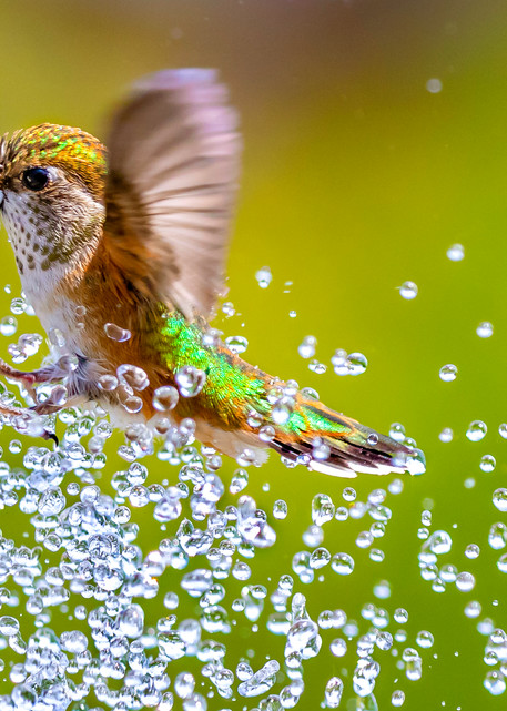 A female Rufous hummingbird takes a summer shower in a backyard birdbath.