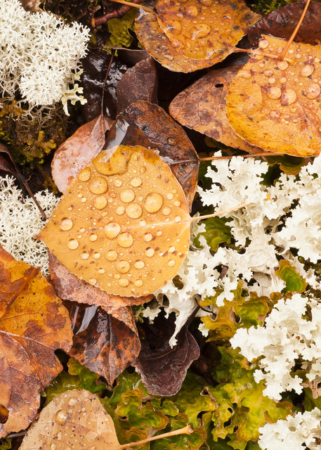 Aspen leaves among Northern Reindeer Lichen and Flattened Snow Lichen with raindrops creates an abstract pattern of shapes and textures in Chugach State Park, Eagle River in Southcentral Alaska.  Fall. Afternoon.