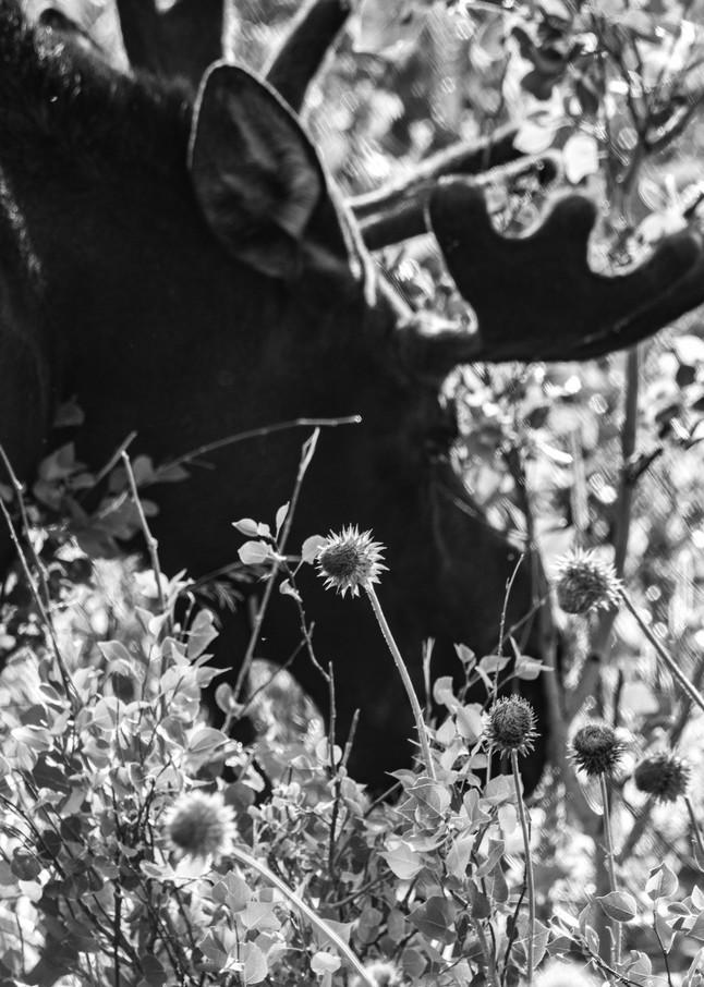 Munching Moose Art | Artist David Wilson