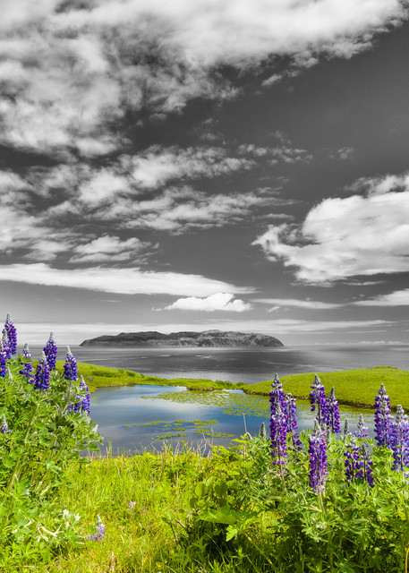 Nootka Lupines (Lupinus nootkatensis) at Pasagshak Point on Kodiak Island overlook Ugak Island in Southwestern Alaska. Summer. Afternoon.
