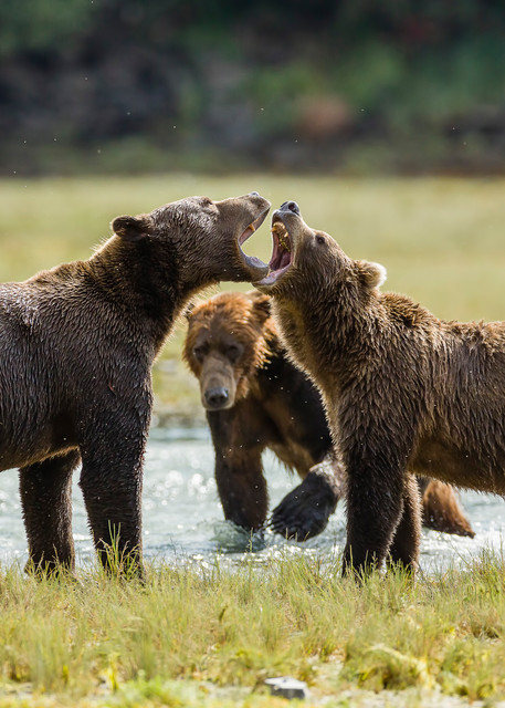 Male brown bears (Ursus arctos) vocalize for dominance to fish for salmon along Geographic Creek at Geographic Harbor in Katmai National Park in Southwestern Alaska. Summer. Afternoon.
