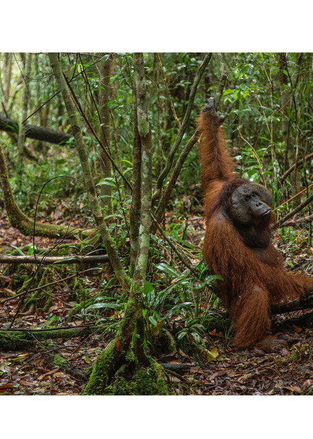 Person Of The Forest depicts an adult orangutan walking on the forest floor.