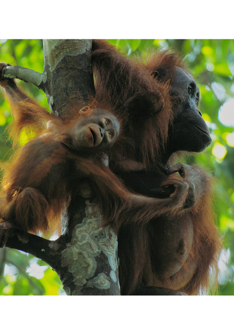 National Geographic photograph of mother and baby orangutan.