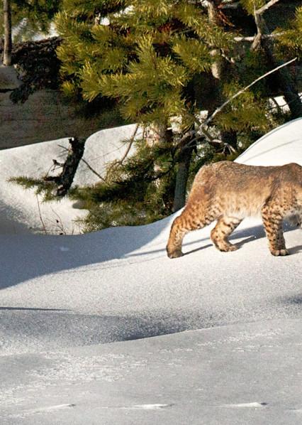 Bobcat Stalking Art | Drew Campbell Photography