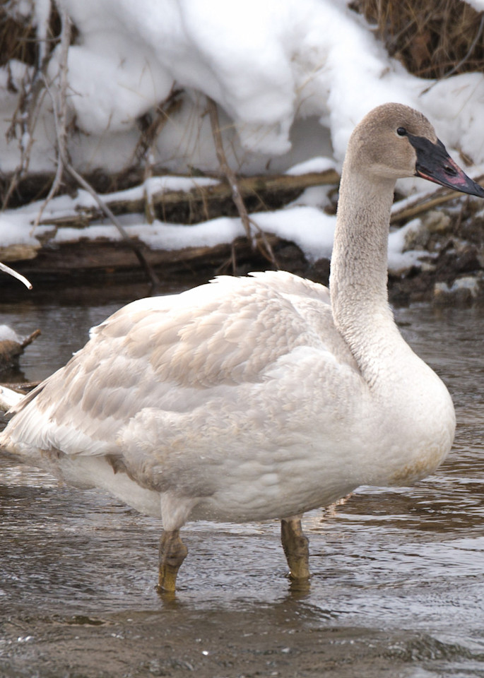 Snow Goose In Yellowstone National Park Art   Drew Campbell Photography