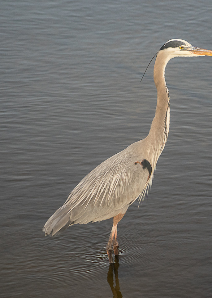 Great Blue Heron Art | Drew Campbell Photography