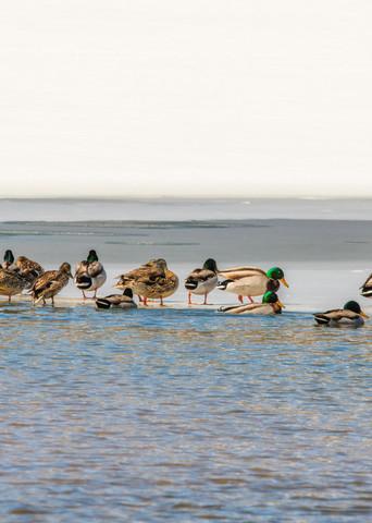 Duck Party Photography Art   Craig Primas Photography