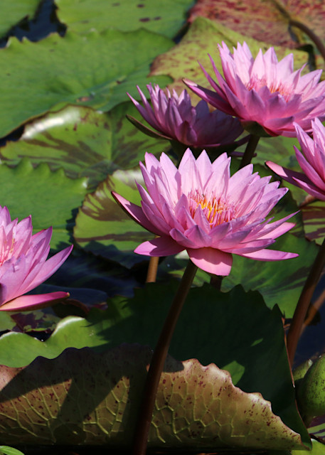 Pink Waterlily Art   Moore Design Group