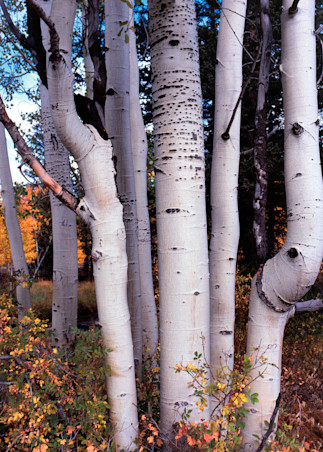 Aspen Stand Photography Art | Craig Primas Photography