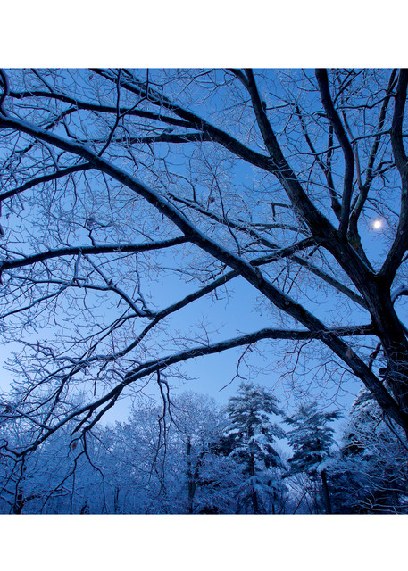 Photo of the moon shining through snow covered trees.