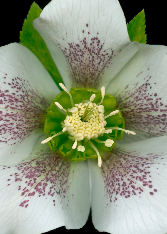 Royal Heritage Hellebore Squared. Contemporary ultra high resolution wall art. A print of an original artwork by Mary Ahern Artist.