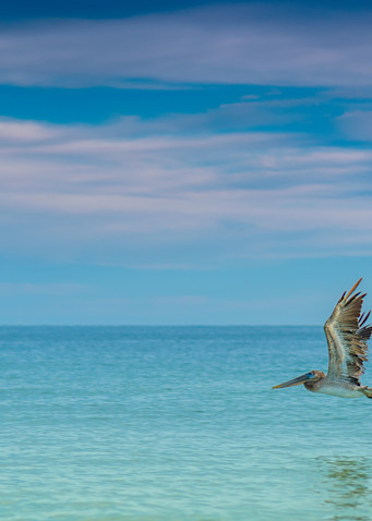 Lone Pelican Photography Art | draphotography