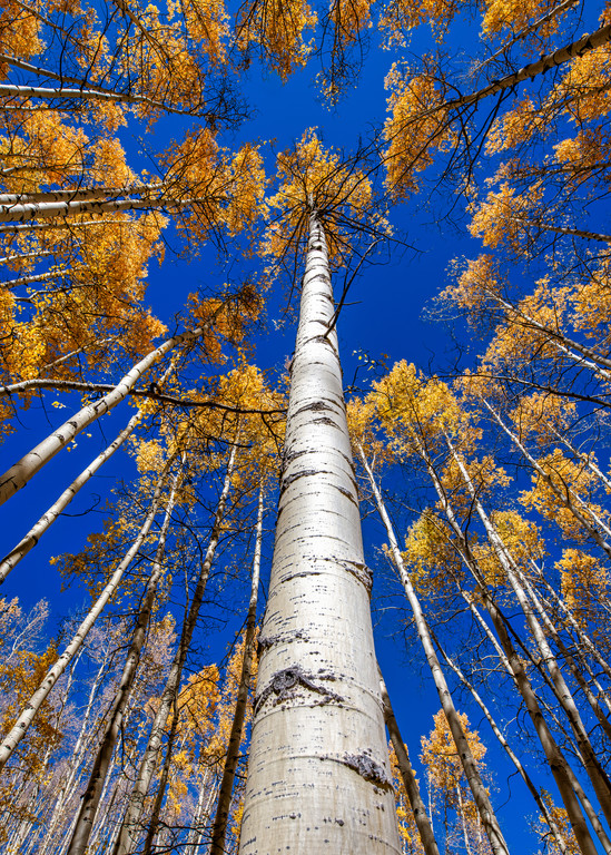 Mother Tree - Colorado aspen photography prints