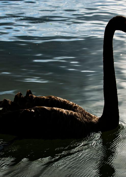Black Swan On Lake Rotorua Photography Art | Kristofer Reynolds Photography