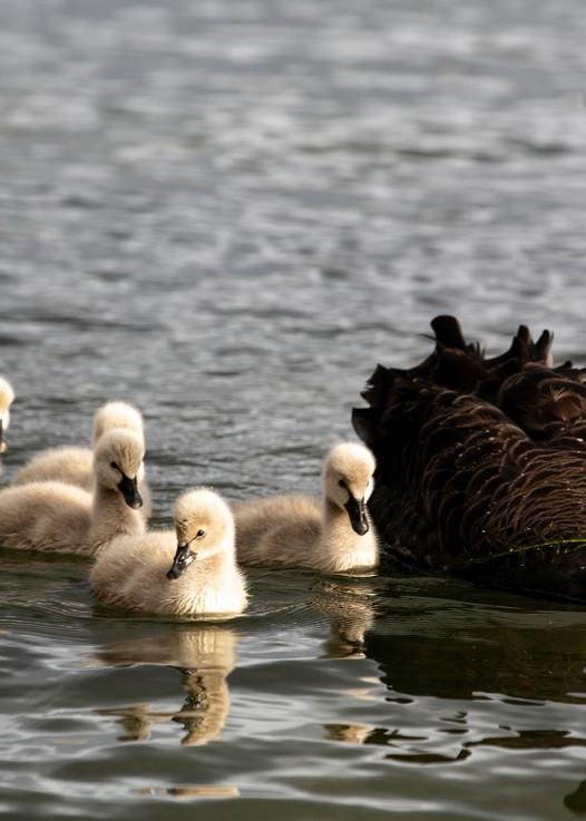 Black Swan And Goslings Photography Art | Kristofer Reynolds Photography