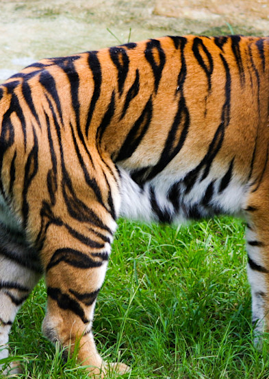 Tiger In Thought Photography Art | Kristofer Reynolds Photography