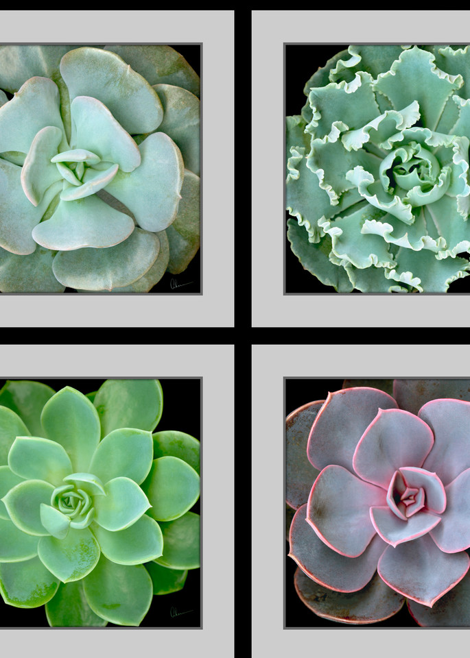 Echeveria Succulents Composite Squared metal wall art. Aluminum Prints by the artist, Mary Ahern.