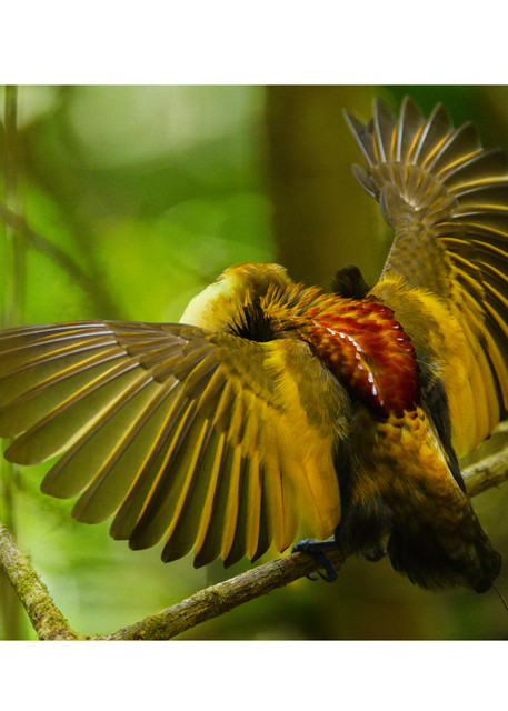 Magnificent Bird Of Paradise   Wings Spread Photography Art | Tim Laman
