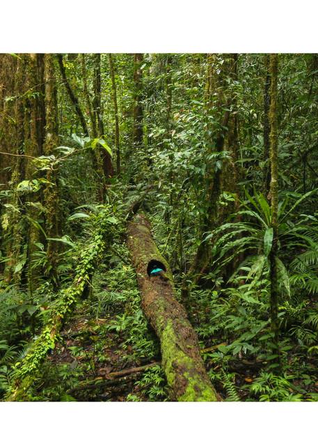 Vogelkop Superb Bird Of Paradise In Rainforest Photography Art | Tim Laman