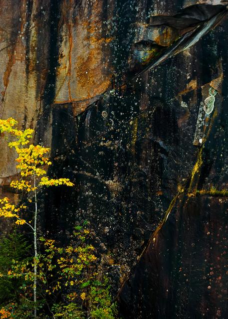 quarry wall golden tree maine autumn