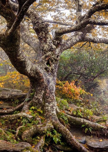 Autumn Birch Art | Red Rock Photography