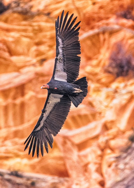 Zion California Condor 2 Art | Michael Blanchard Inspirational Photography - Crossroads Gallery