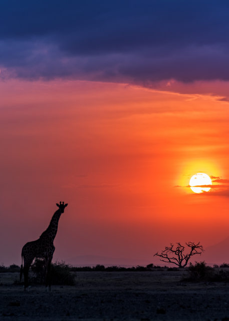 Giraffes At Sunset, 2016. Photography Art | Tom Stahl Photography