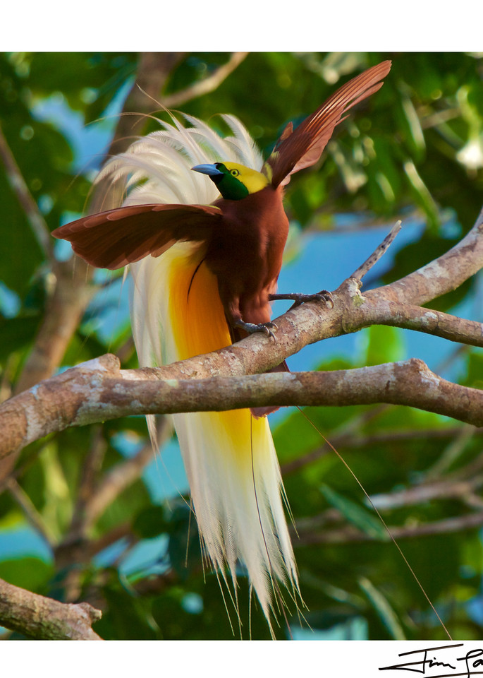 Lesser BOP male with his wings out.  National Geographic photograph available as wall art.
