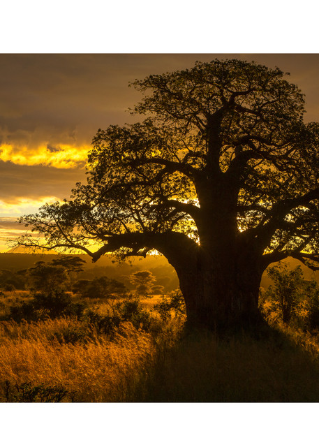 Baobab Sunrise Photography Art | Tim Laman