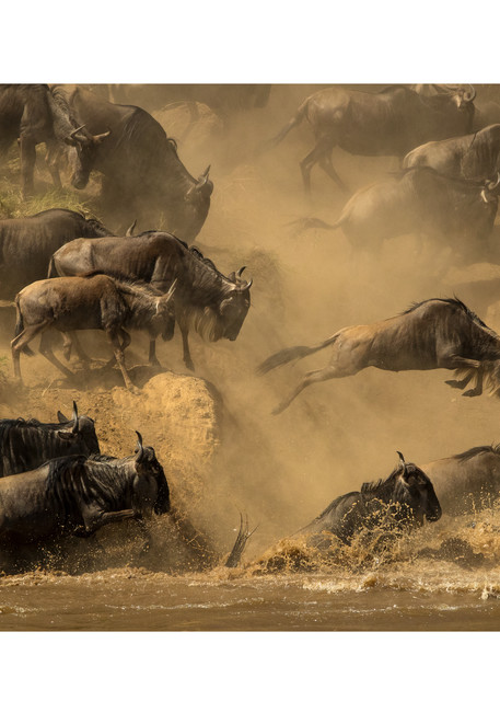 One Wildebeest stands out while jumping into the Mara River, Africa.