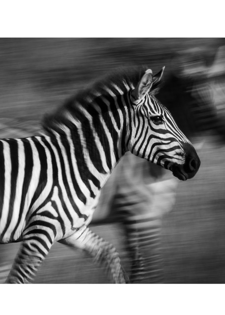 A Study In Stripes Photography Art | Tim Laman