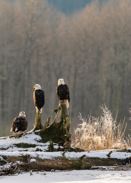 Bald Eagles (Haliaeetus leucocephalus) perched on log in Chilkat Bald Eagle Preserve near Haines in Southeast Alaska. Winter. Morning.