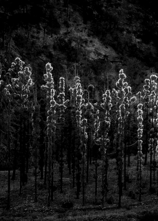 Pine Tree Stand Big Tujunga 2018 Photography Art | Dan Katz, Inc.
