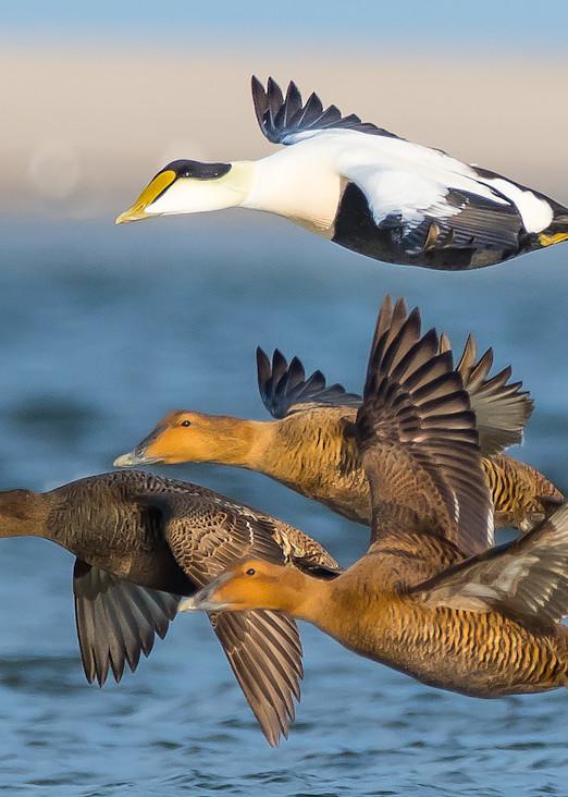Eider Ducks Art | Sarah E. Devlin Photography