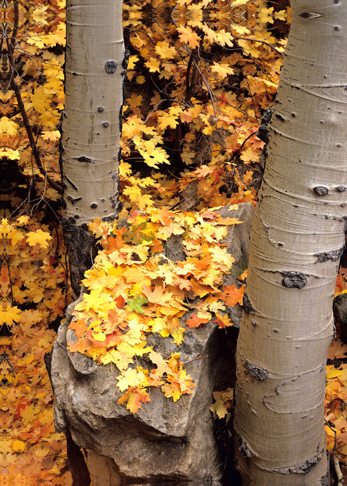 Autumn Aspens Photography Art | Craig Primas Photography
