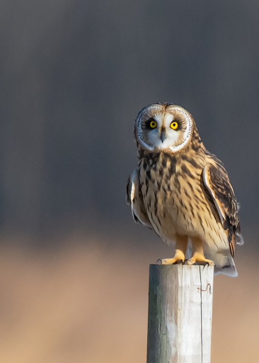Short Eared Owl Perched